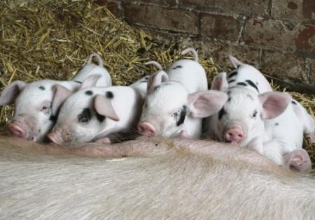 news-City farm pigs